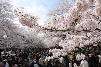 Ciresi in plin sezon de inflorire in parcul Ueno din Tokyo, Japonia. Petrecerile Hanami (vizionarea ciresilor infloriti) sunt o delectare sezoniera exceptionala pentru locuitorii insulei asiatice.