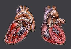 Inima- sectiune