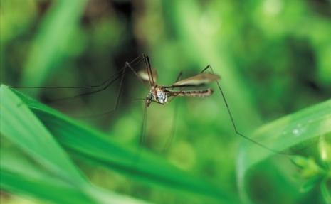 Un nou virus ataca populatia: virusul West Nile in Grecia si
