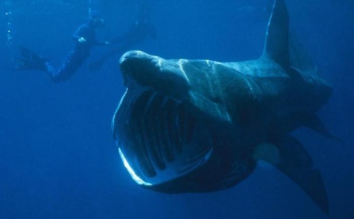 Rechinul care se hraneste cu plancton, specie aflata pe cale de disparitie