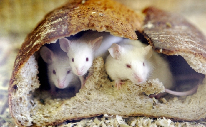 Şoareci