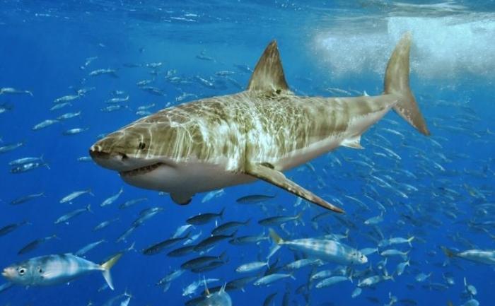 Marele alb - un rechin care poate fi pe cale de disparitie, conform unui studiu recent
