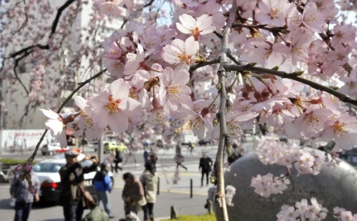 Oamenii admira ciresii infloriti in parcul Ueno din Tokyo, 28 martie 2011.