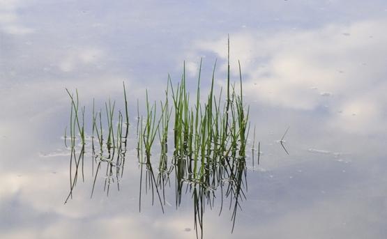 Firisoare de iarba la marginea unui lac.