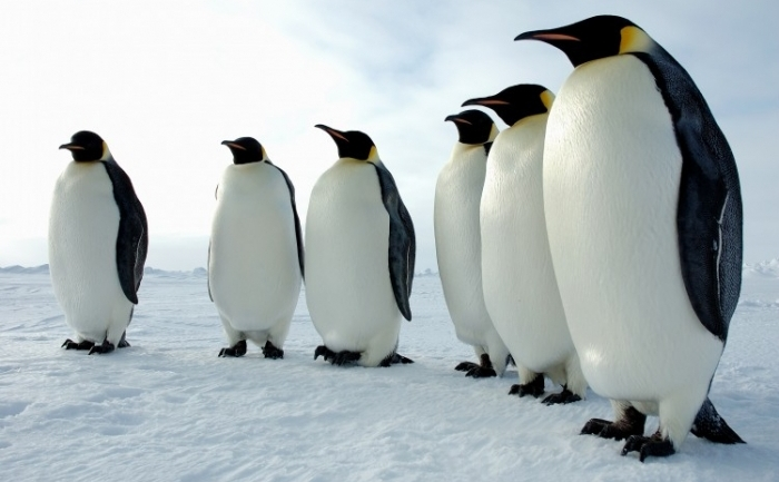 Pinguini imperiali (Aptenodytes forsteri) in Antarctica.