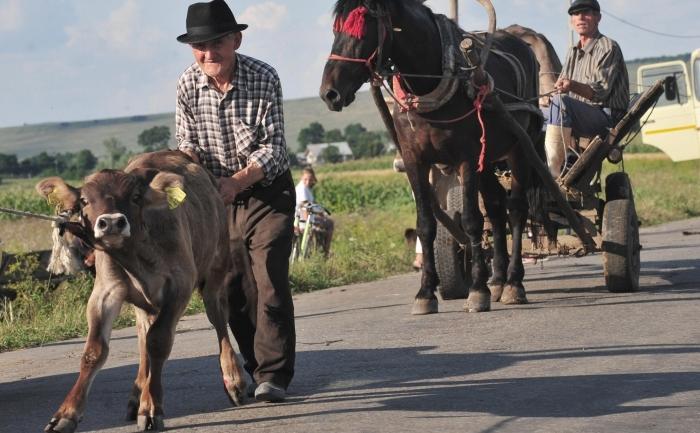 Un batran impingand un vitel, judetul Suceava