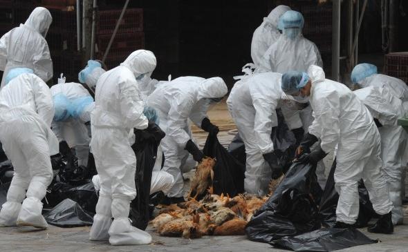Hong Kong-ul a sacrificat 17.000 de pui şi a suspendat importurile după ce trei păsări au fost testate pozitiv la o variantă de gripă aviară H5N1.