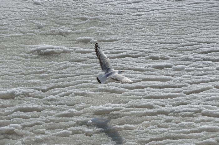Pescăruş zburând peste Marea Neagră îngheţată.