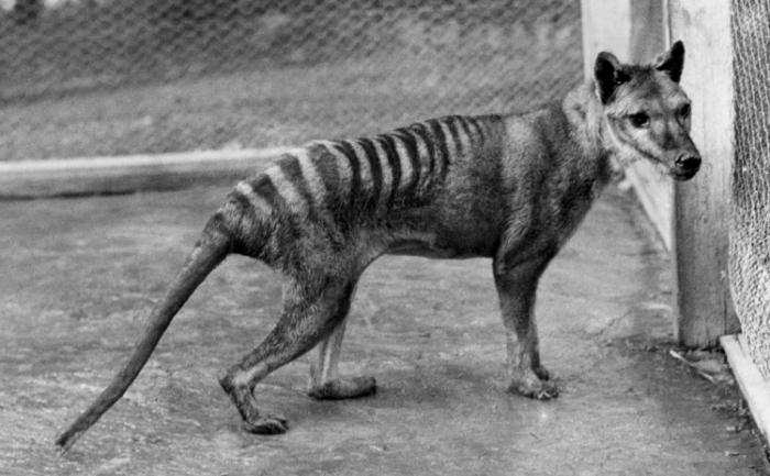 Cercetătorii au descoperit că tigrul tasmanian avea o diversitate genetică foarte scăzută.