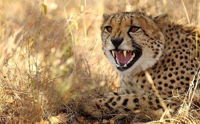 Ghepard în Rezervaţia Edeni, Africa de Sud.