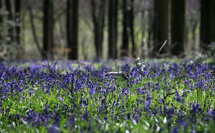 Flori de pădure în Marea Britanie, Marlborough, aprilie 2012