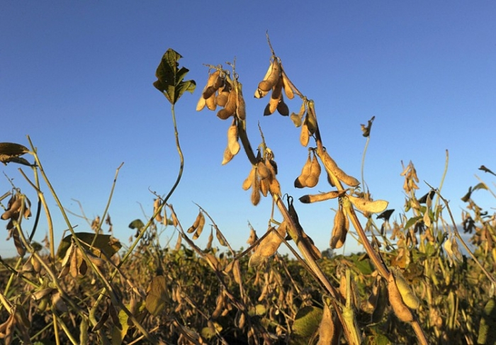 Plante de soia mutate genetic la o fermă lângă Santa Fe, 500 km de Buenos Aires