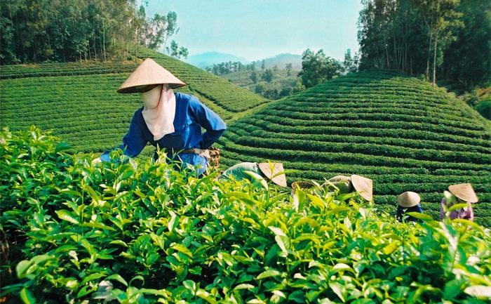 Ceaiul verde crescut la mari altitudini trebuie să fie colectat şi consumat în timp util.