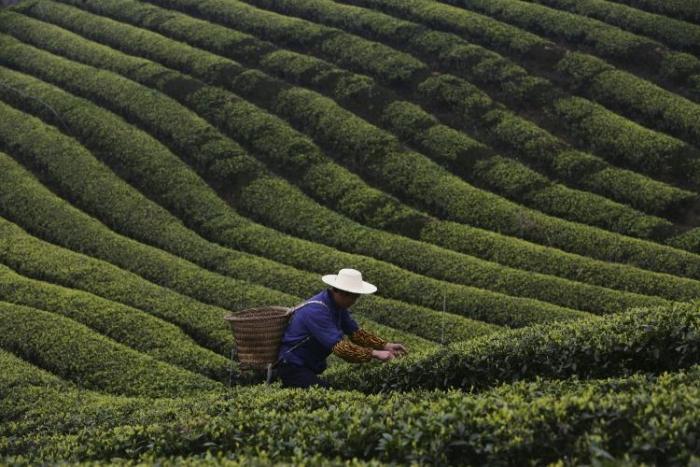 Un ţăran adunând frunze de ceai de la periferia municipiului Chongqing, China.