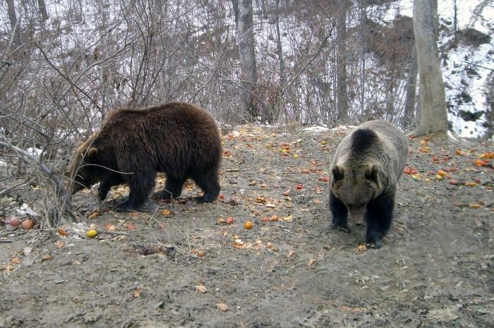 Urşi în rezervaţia de la Zărneşti.