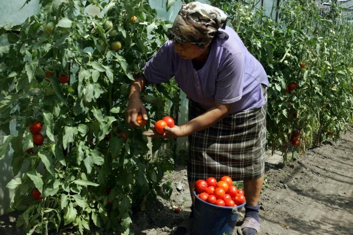 Recoltarea de roşii într-o seră din Buzău