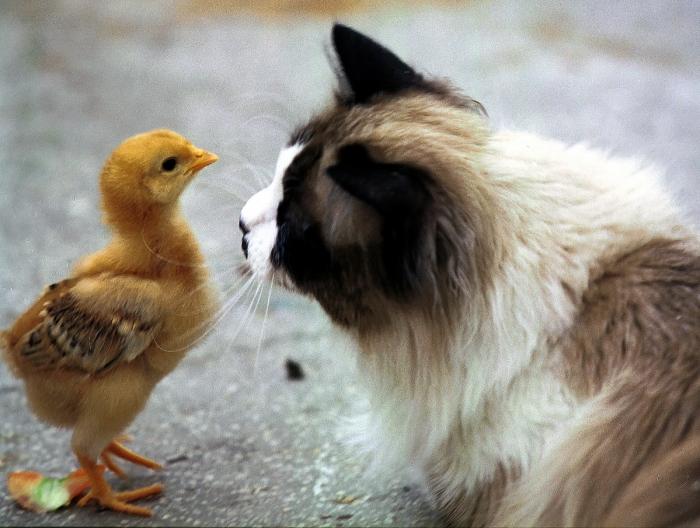 Pui de găină şi pisica