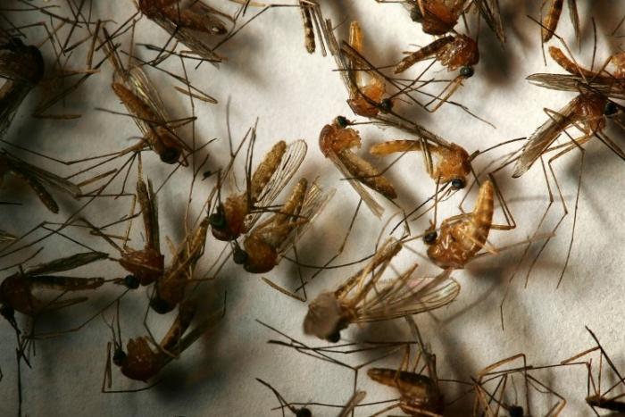 Ţânţari, purtători ai virusului West Nile, despre care cercetătorii cred că ar fi mutat