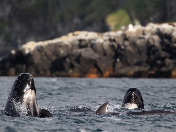 Balene-pilot în Scoţia