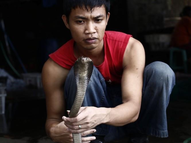 Un măcelar de şerpi, Muhammad Nur, ţinând o cobra, Indonesia