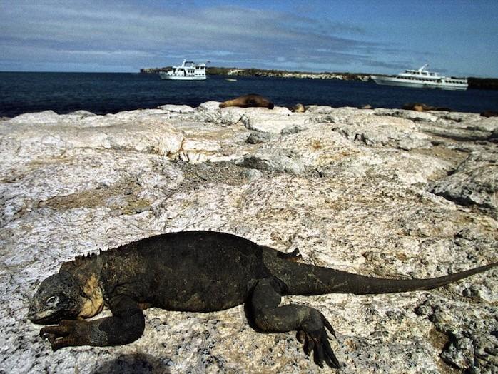 Iguană marină la Soare, Insulele Galapagos