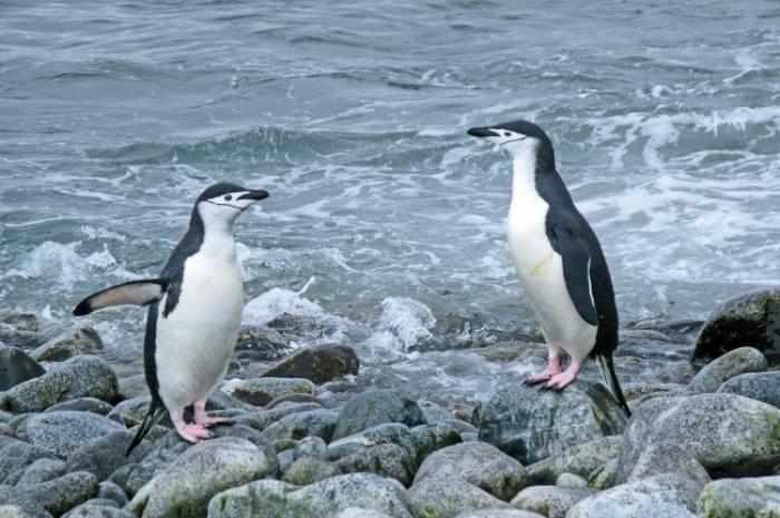 Pinguini în Peninsula Antarctică
