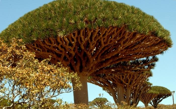 Cinnabari sau Sângele dragonului tronează cu coroanele lor în formă de umbrelă platourile insulei yemenite Socotra.