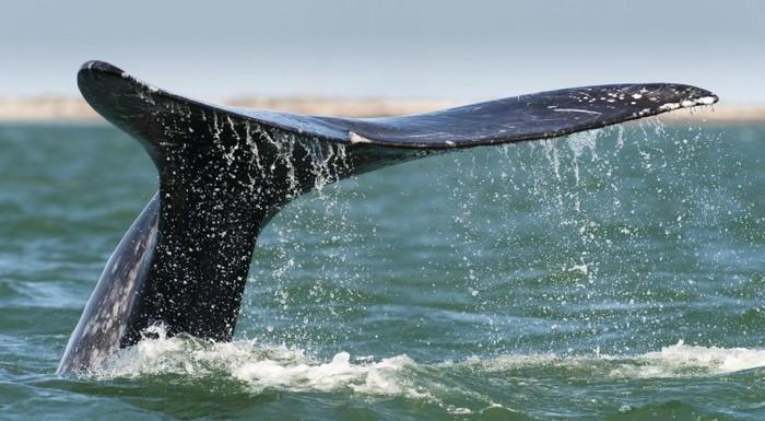 O balenă gri în San Ignacio Laguna, Baja California Sur stat, Mexic, 28 februarie 2010.