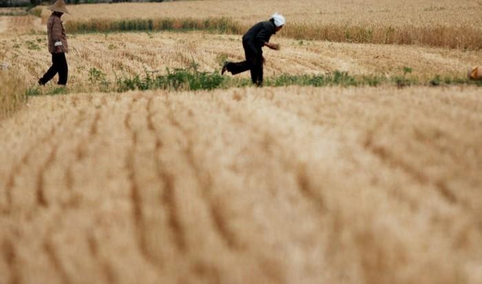 Ţăranii culeg grâul pe un câmp la 29 mai 2011, în Huaibei, provincia Anhui din China. Suprafeţe masive de teren agricol în China sunt contaminate cu metale grele, potrivit unui studiu făcut pe durata a opt ani, care a fost ulterior suprimat, de mai multe agenţii de stat.