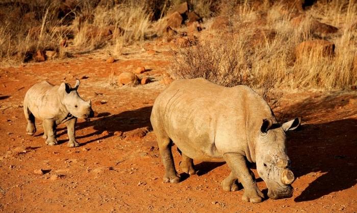 Rinoceri cu cornul tăiat pentru a-i feri de braconieri, într-o rezervaţie din Africa de Sud