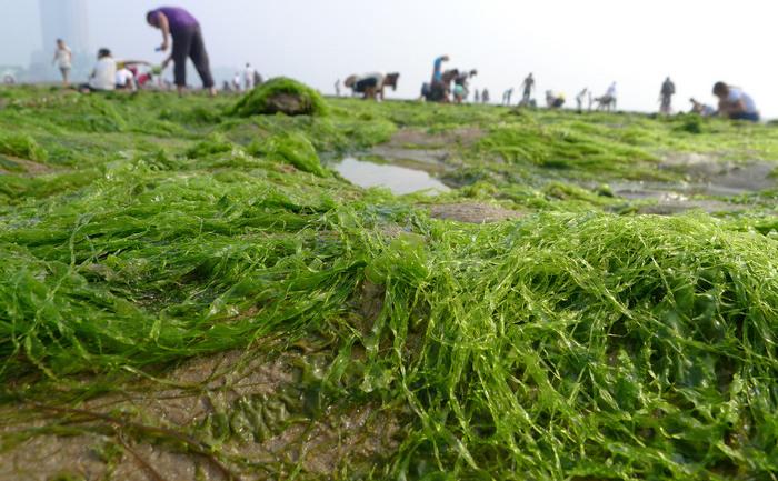 Chinezii adună alge de pe o plajă din provincia Shandong.