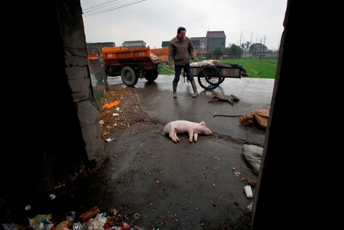 Un porc mort se află pe jos în municipiul Jiaxing, provincia Zhejiang din China, la 13 martie. Peste 6.000 porcii aruncaţi de agricultorii din Jiaxing au fost scoşi din râul Huangpu care trece prin Shanghai.
