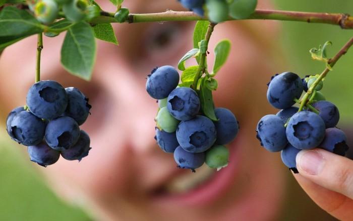 Afinele sunt pline de antioxidanţi ce pot ajuta creierul si vederea.