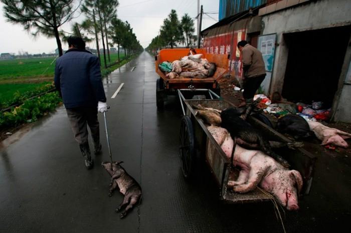 Sătenii adună porci morţi în Jiaxing, provincia Zhejiang, la 13 martie 2013. Oamenii care locuiesc în aval în Shanghai sunt îngrijoraţi de faptul că toţi porcii morţi din râul lor au contaminat apa potabilă. Însă oficialii comunişti susţin că apa şi păstrează calitatea.