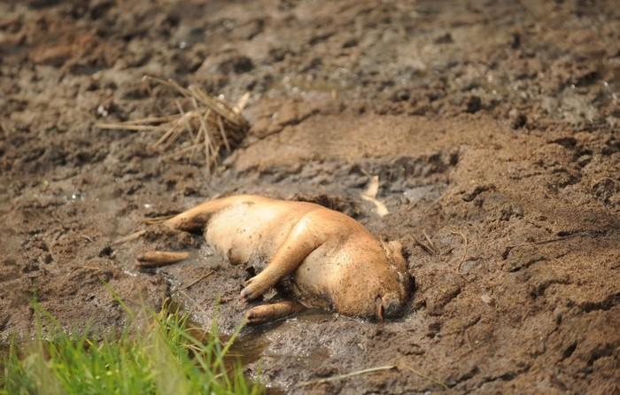 Aceasta fotografie făcută la 14 martie 2013 înfăţişează un porc mort în Jiaxing, provincia de est Zhejiang a Chinei. Până în prezent, aproximativ 13.000 de porci morţi au plutit în jos pe râul Huangpu de la Jiaxing la Shanghai, atrăgând atenţia asupra problemelor sistemice ale producţiei alimentare a Chinei, precum şi ale regimului chinez în sine.