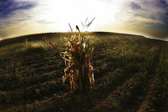 Porumb rămas pe un câmp după strângerea recoltelor.
