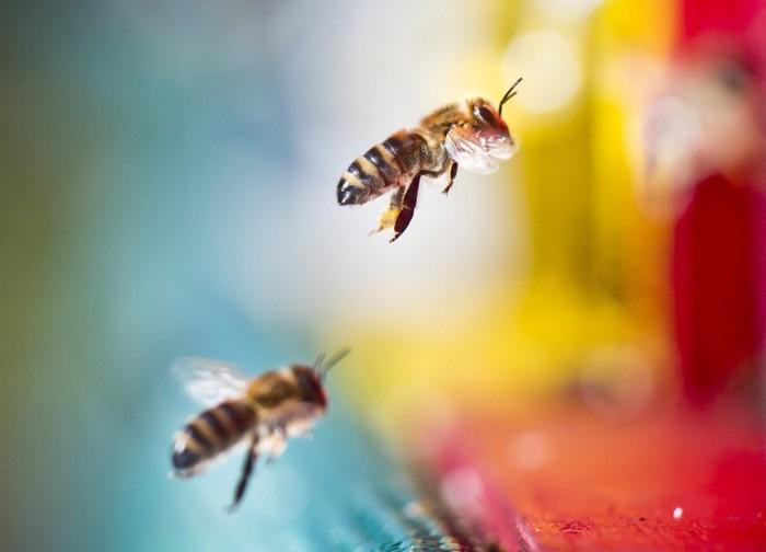 O treime din totalul de colonii de albine comerciale (peste 1 milion de stupi) au dispărut în ultimul an. Se crede că de vină sunt pesticidele
