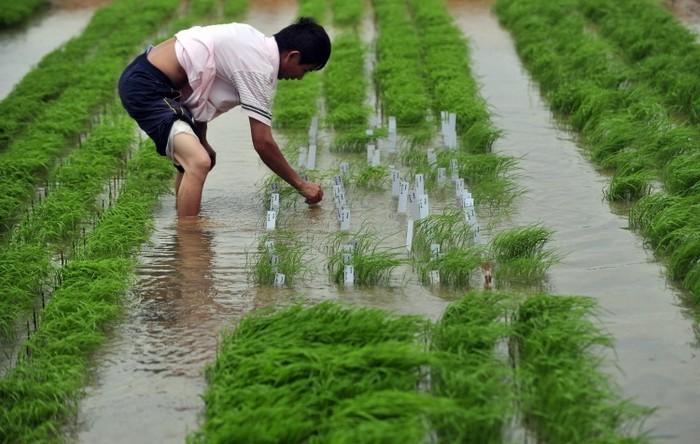 Cercetător chinez verifică boabe de orez în provincia Hubei, China