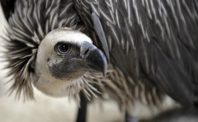Un vultur cu capul alb, la grădina zologică din Amneville