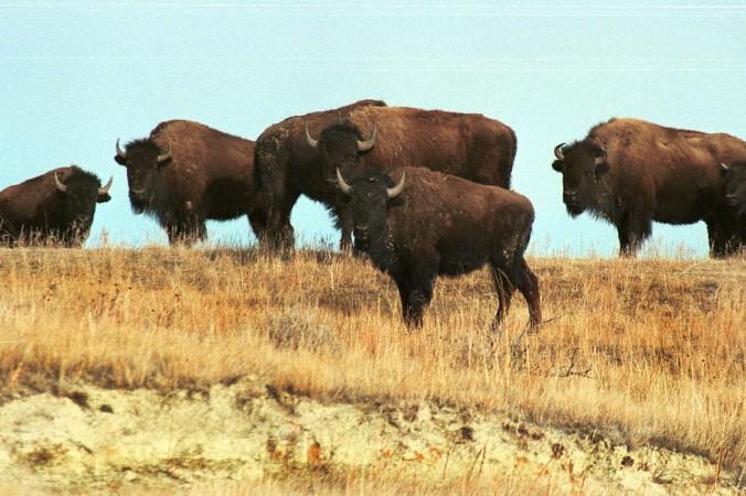 O cireadă de bizoni în Parcul National Theodore Roosevelt în Dakota de Nord