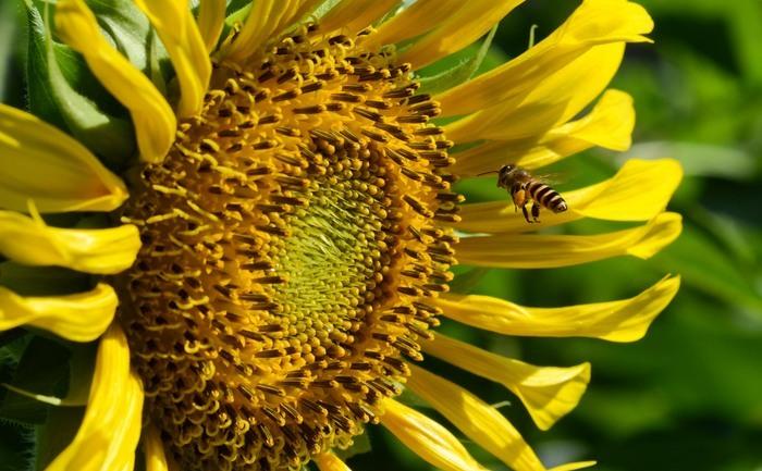 O floare a soarelui, cu o clientă. Seminţele de floarea soarelui sunt dispuse după Şirul lui Fibonacci