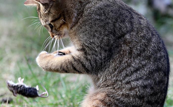 Pisică jucându-se cu şoarecele