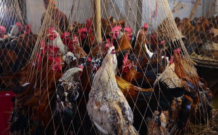 Focar de gripă aviară a găinilor ouătoare.