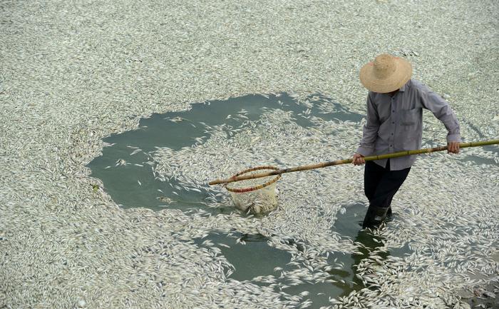 Un rezident curăţăpeşti morţi pe râul Fuhe în Wuhan, din centrul Chinei  provincia Hubei pe 3 septembrie 2013, după ce cantităţi mari de peşte  mort au început să apară la suprafaţa apei cu o zi înainte