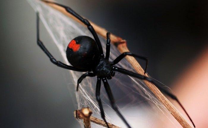 Păianjen veninos