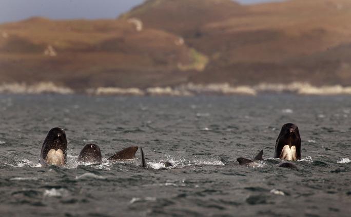Grup de balene pilot, animale înrudite cu delfinii, arhivă