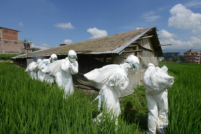 Angajaţi din domeniul sănătăţii care duc saci cu pui morţi infectaţi cu gripa aviară