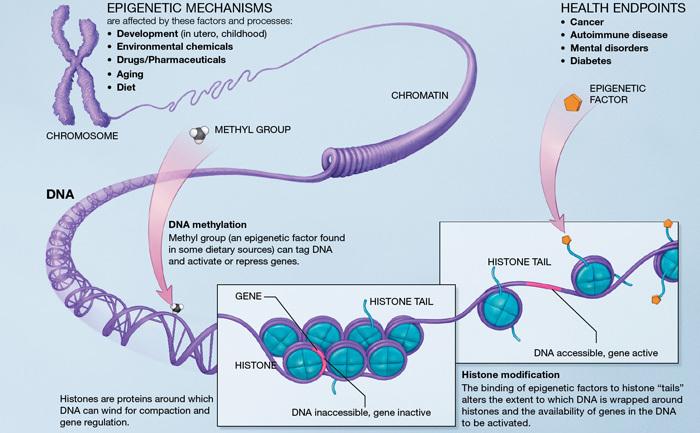 Mecanisme epigenetice.
