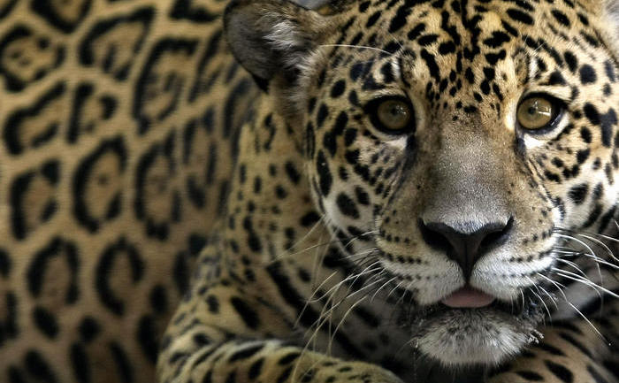 Brazilia, Amazonia: Jaguar