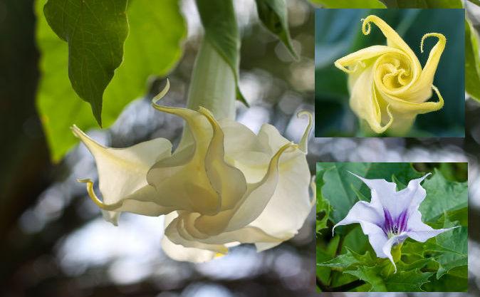 """Scopolamina vine dintr-o familie de plante care include """"trompeta îngerilor"""" (stânga), datura (sus dreapta). Scopolamina, sau """"răsuflarea diavolului"""" a fost numită cel mai înfricoşător medicament din lume"""
